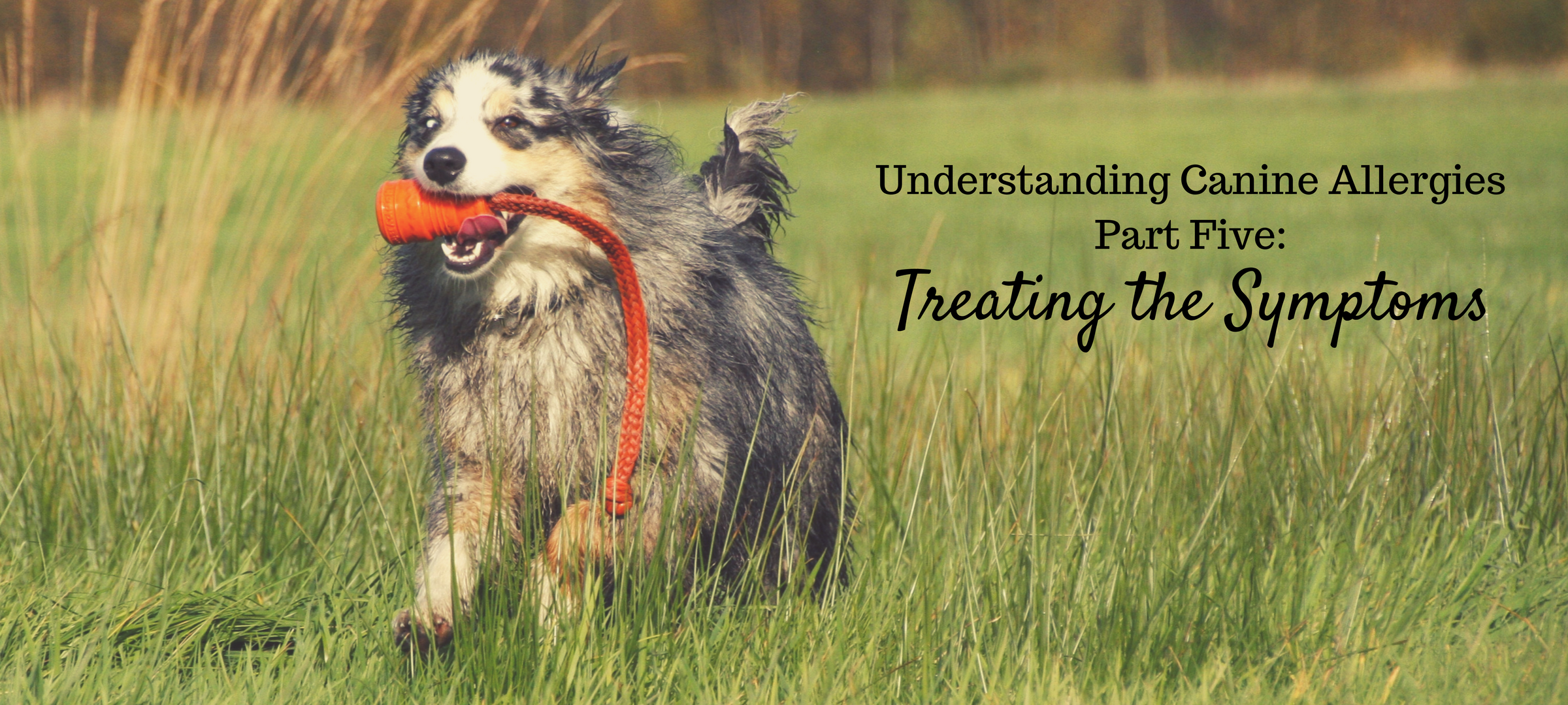dogs, dog food, allergies, immunity, immune system, healing, diet, treatment, understanding canine allergies part five, symptoms