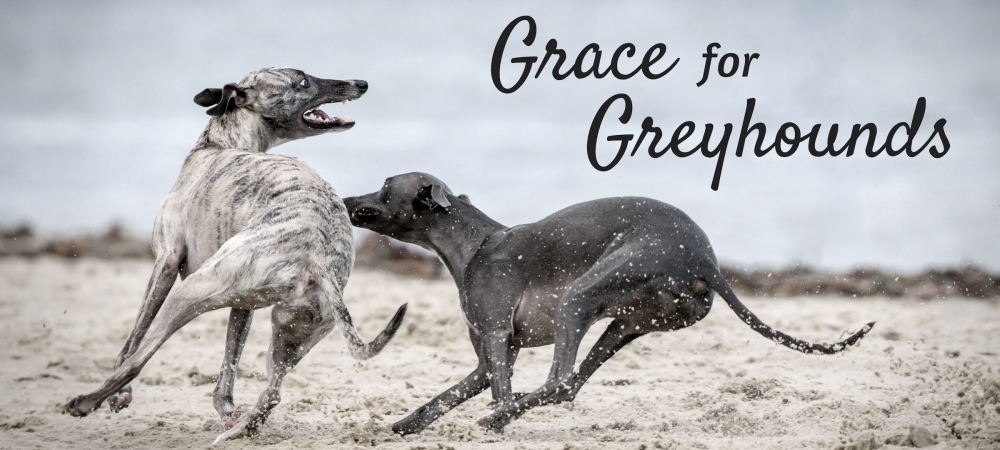 dogs, community impact, greyhounds, Florida, amendment, rescue, home, racing, sighthounds